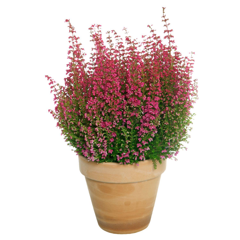 Produktbild på Höstljung Erica rosa