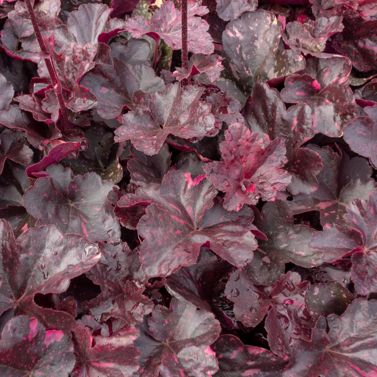 Produktbild på Alunrot 'Midnight Rose'