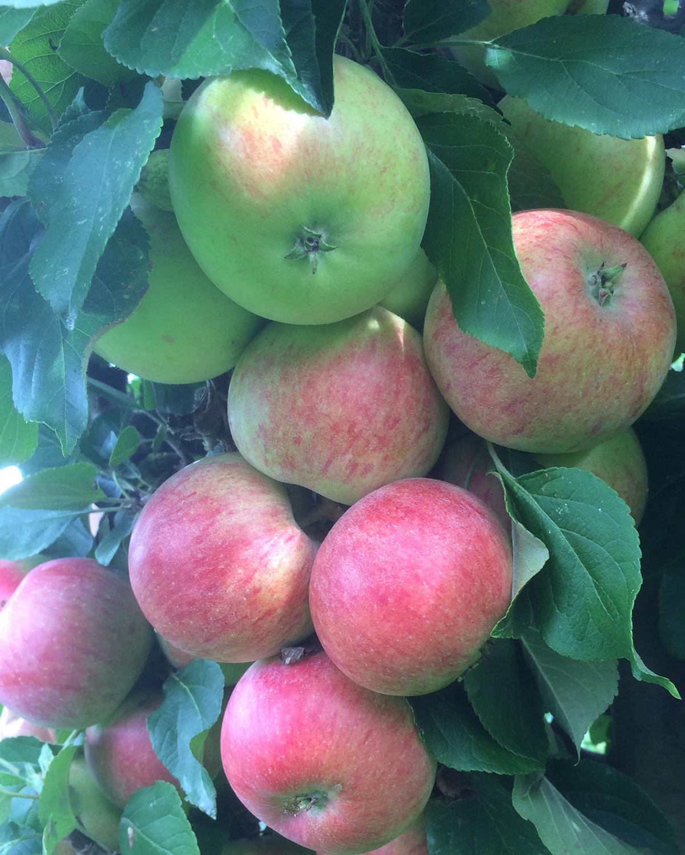 Produktbild 2 på Äppleträd