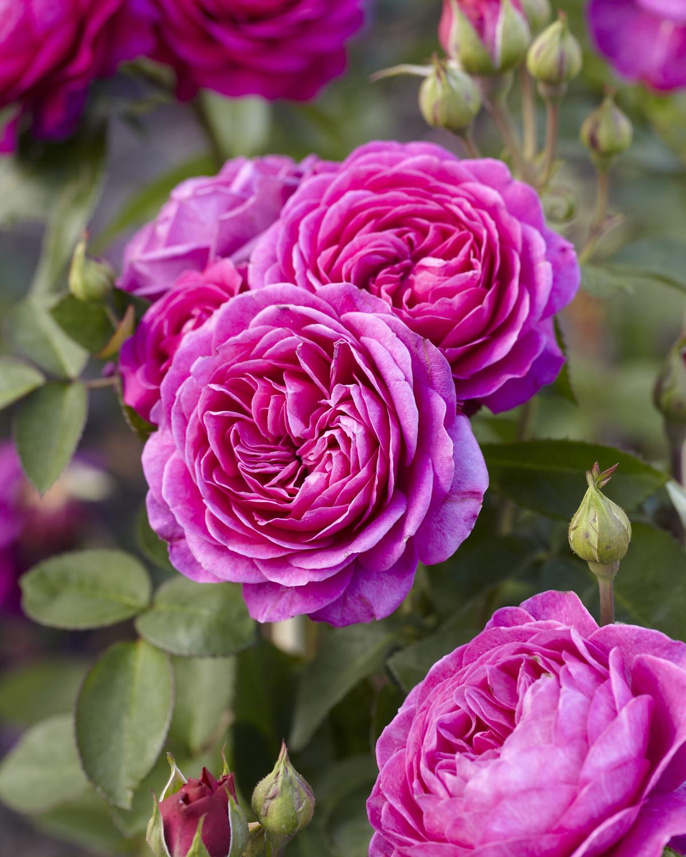 Produktbild på Floribundaros HEIDI KLUM ROSE