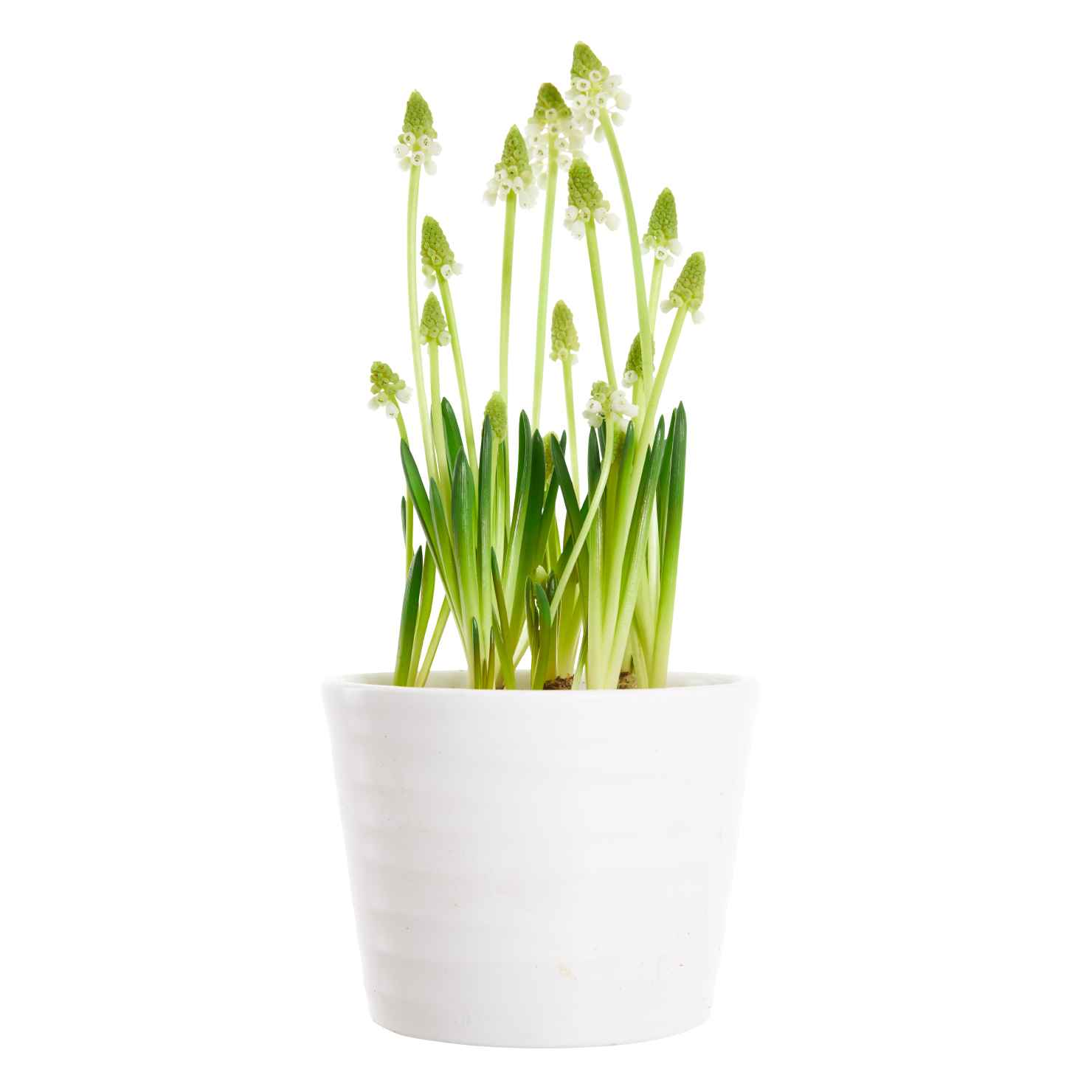 Produktbild på Pärlhyacint, vit