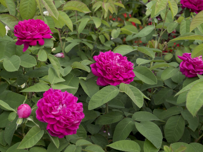 Produktbild på Höstdamascenerros 'Rose de Rescht'