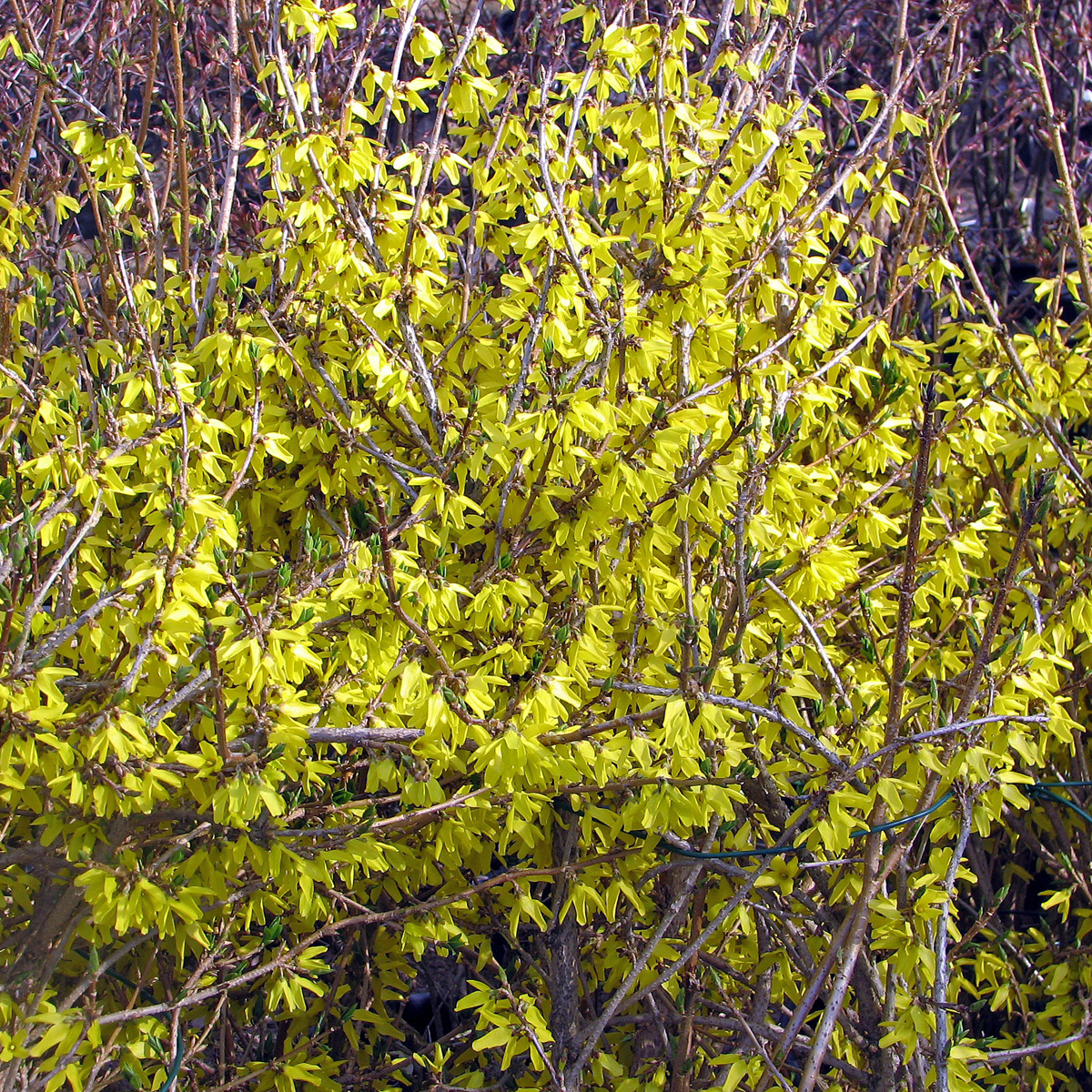 Produktbild på Forsythia 'Northern Gold'
