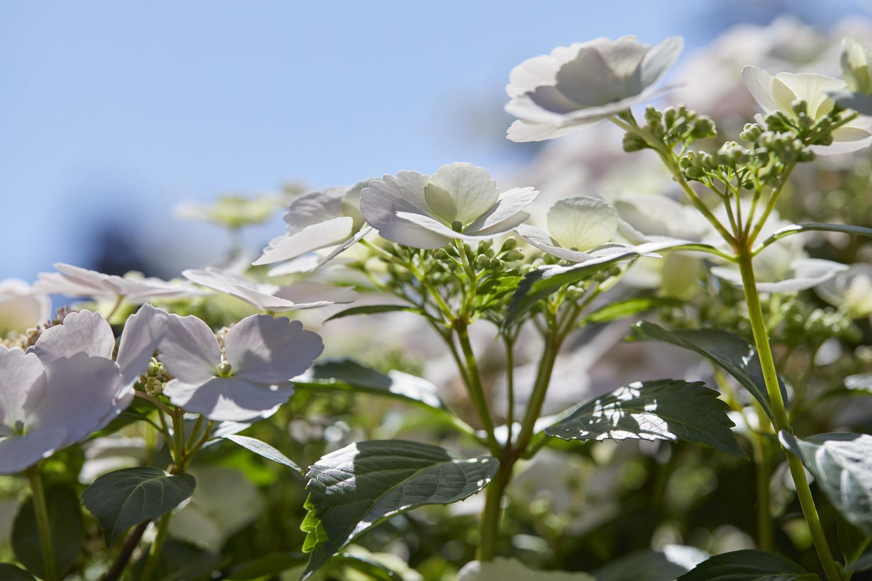 Produktbild 2 på Trädgårdshortensia