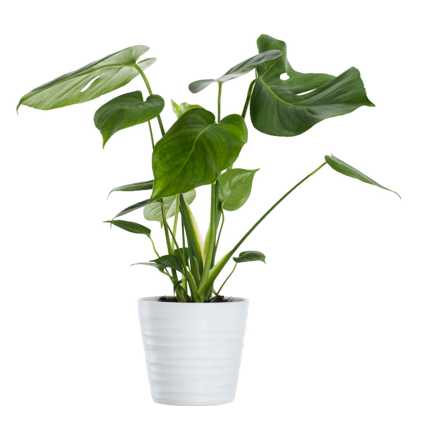 Produktbild på Monstera