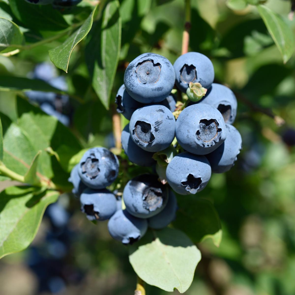 Produktbild 2 på Amerikanskt blåbär