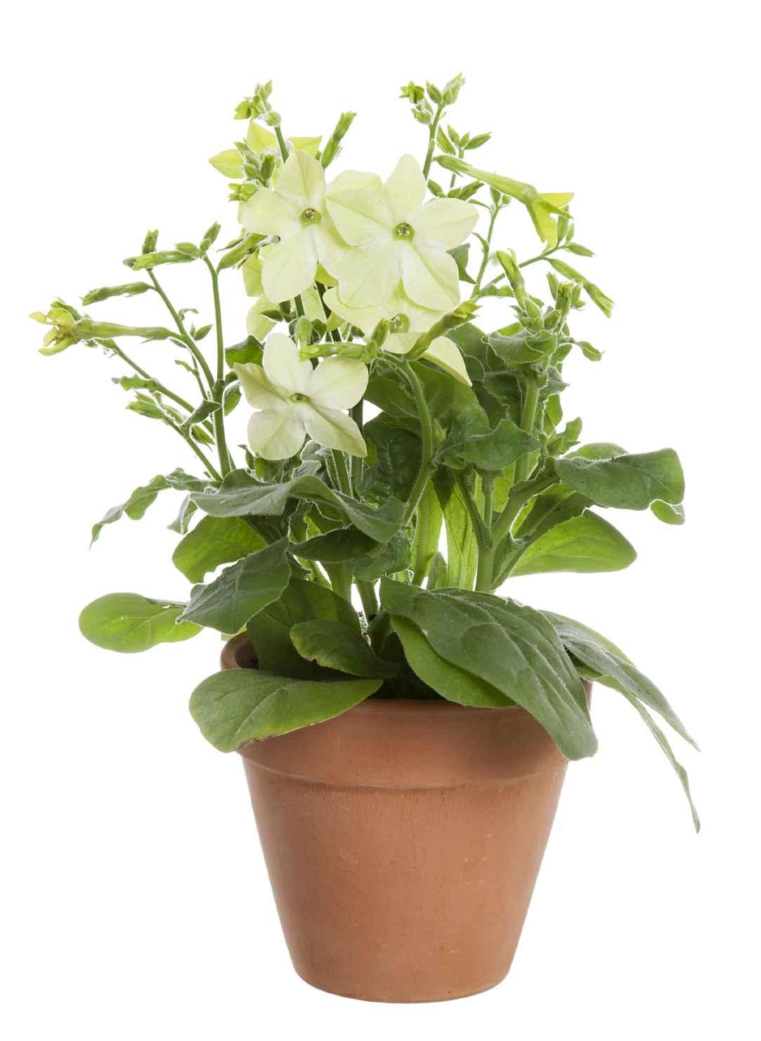 Produktbild på Blomstertobak, Lime