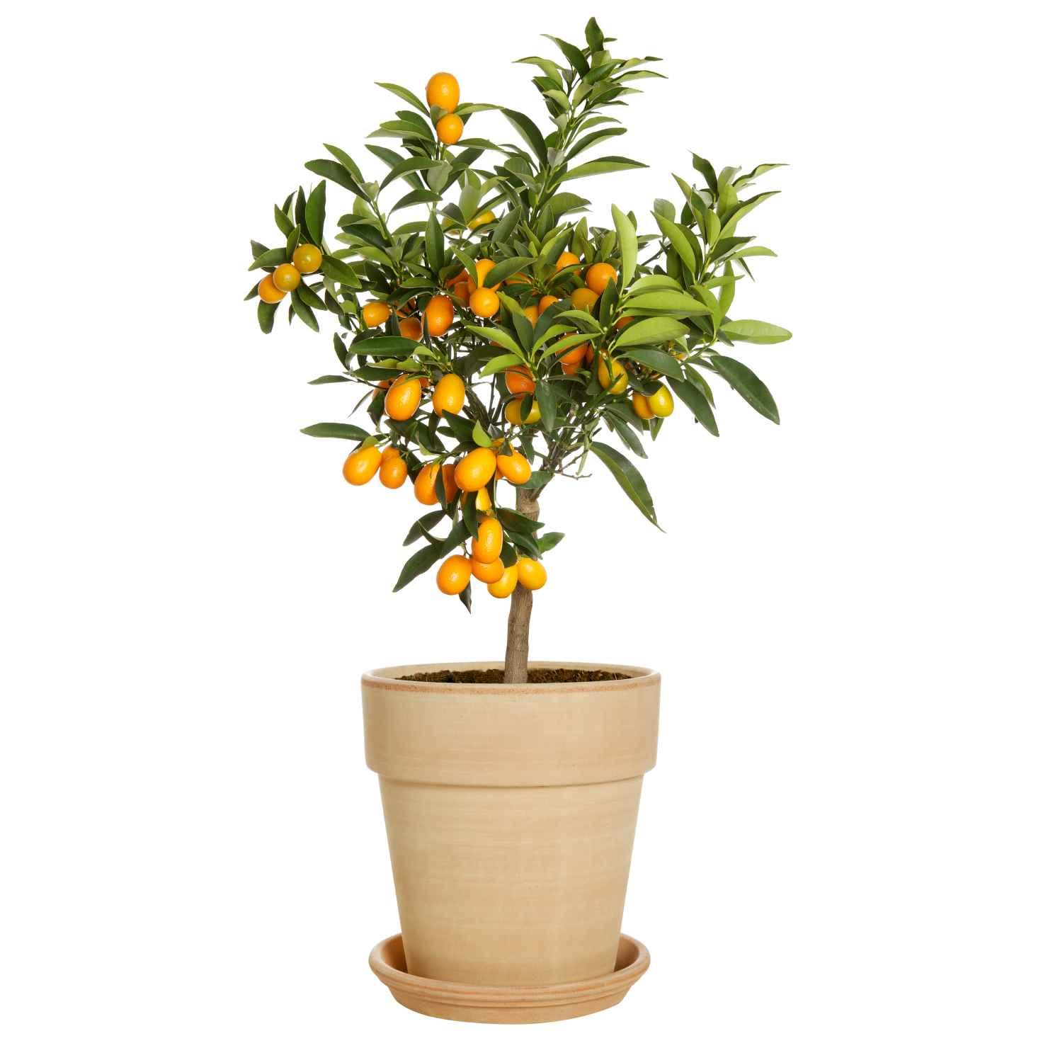 Produktbild på Oval kumquat
