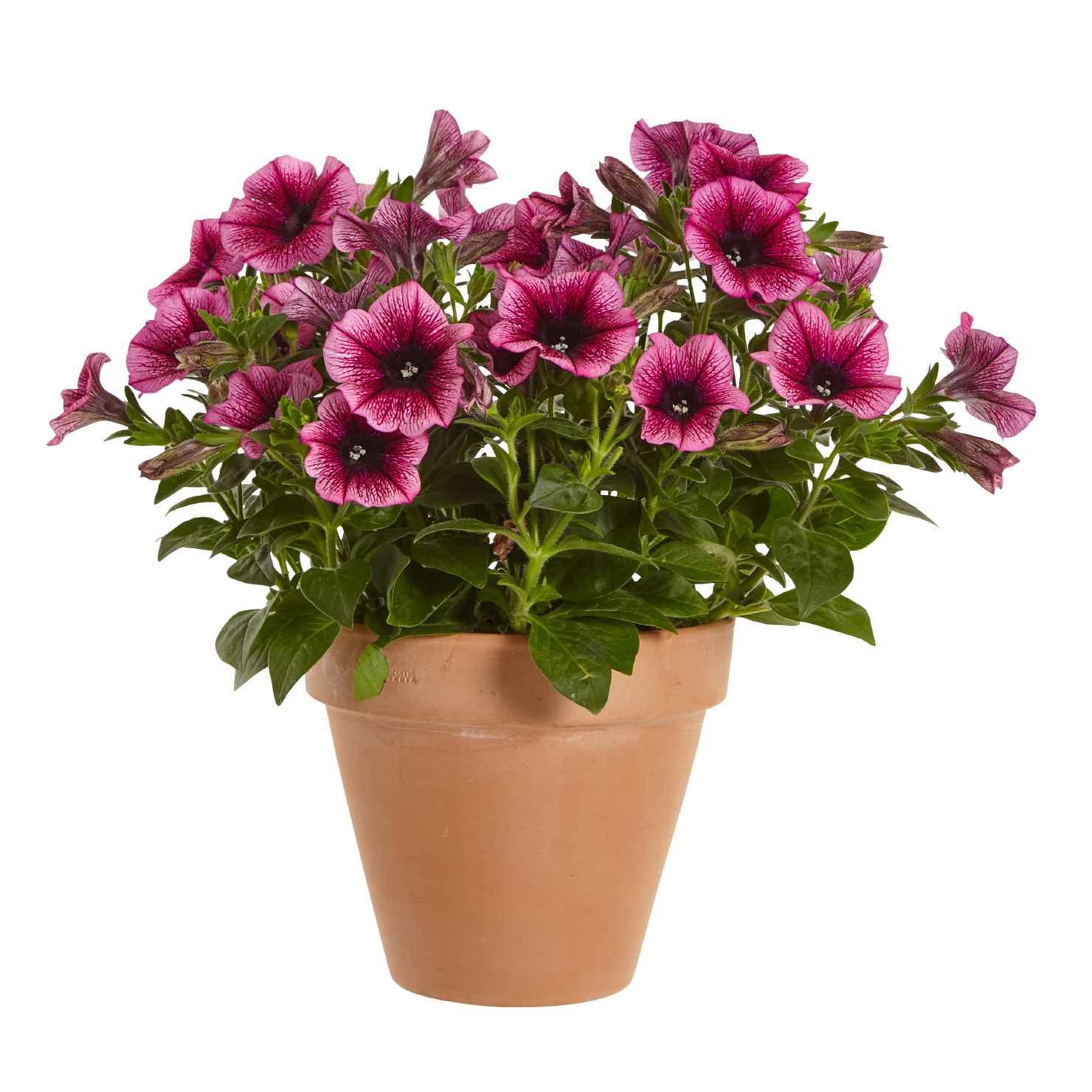 Produktbild 1 på Petunia
