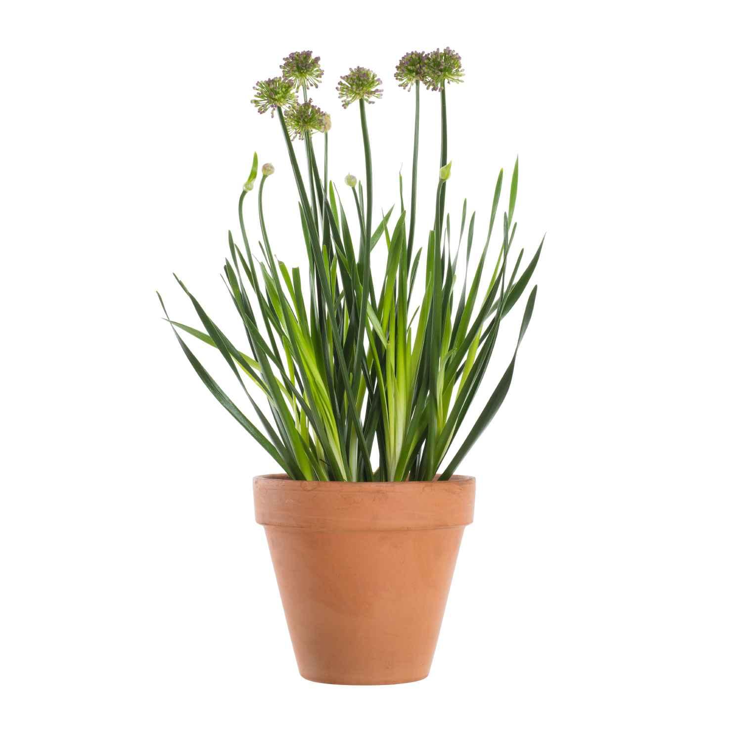 Produktbild på Allium 'Millenium'