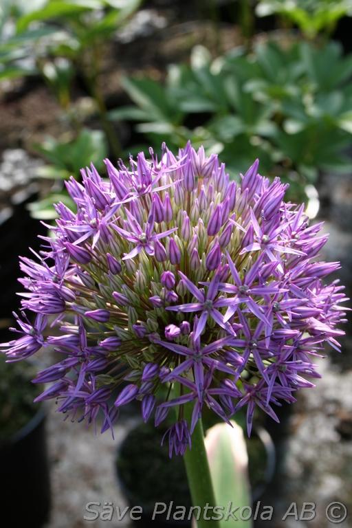 Produktbild på Allium 'Gladiator'