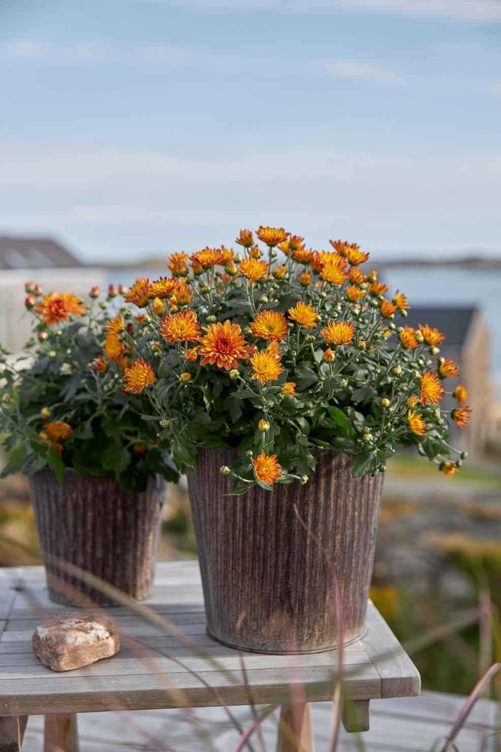 Produktbild på Bollkrysantemum, orange