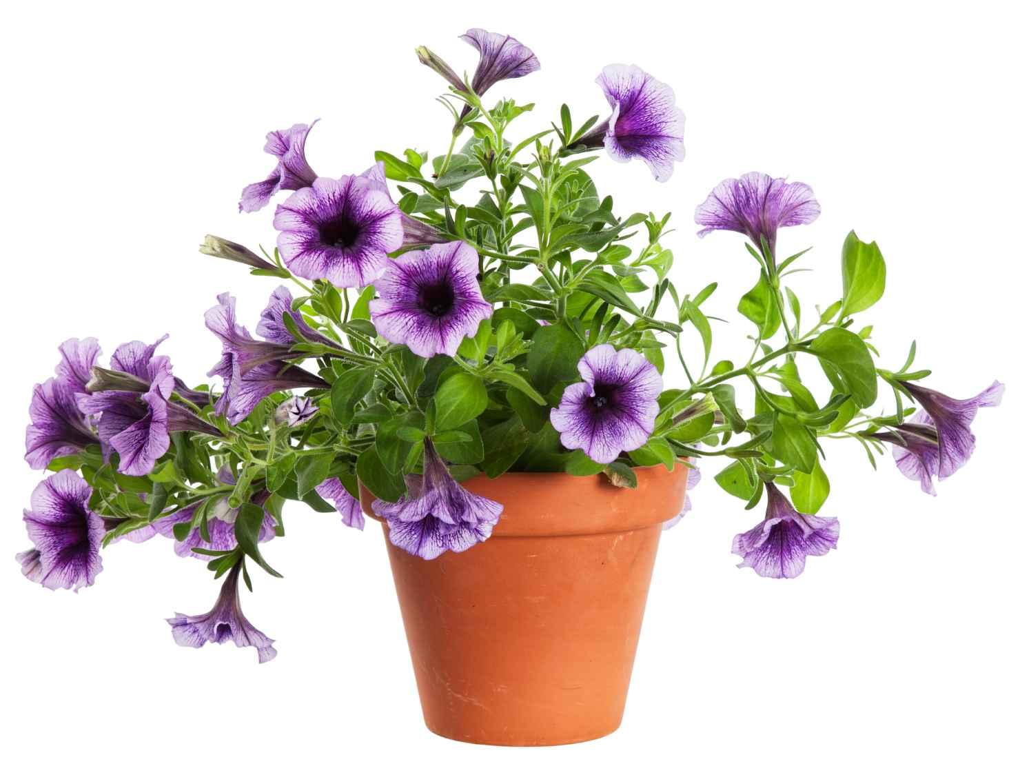 Produktbild på Petunia (Surfinia-Serien), lila