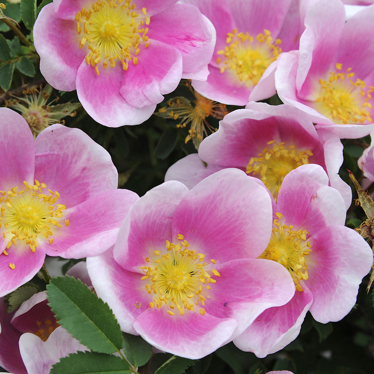 Produktbild på Spinosissima-ros