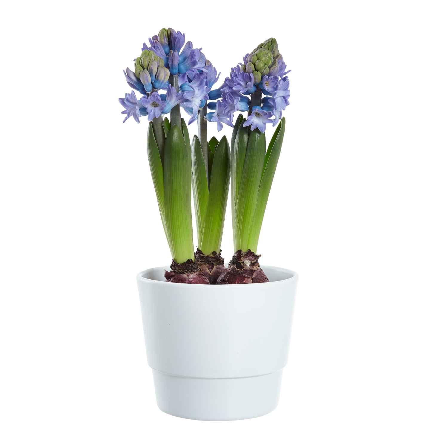 Produktbild på Hyacint