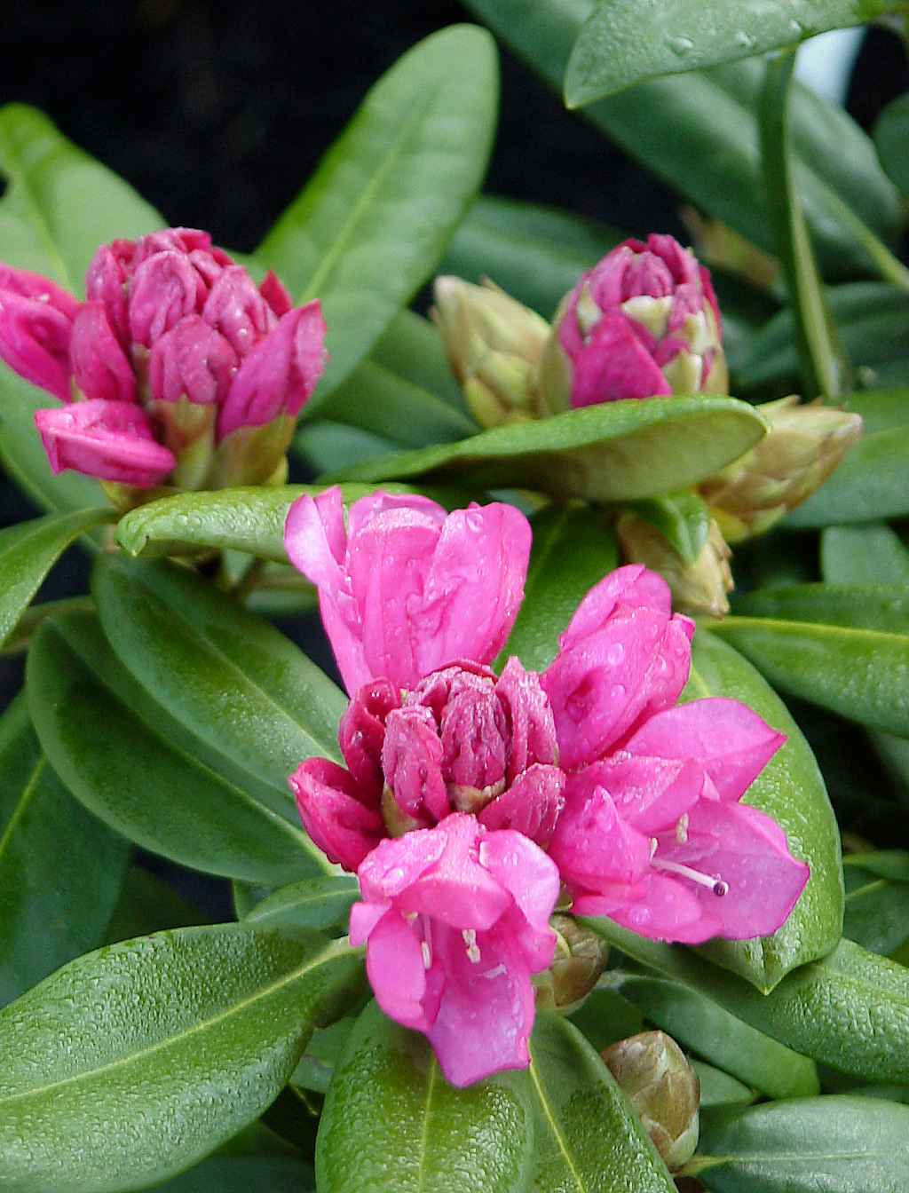 Produktbild på Yakushimanum-rododendron 'Kalinka'