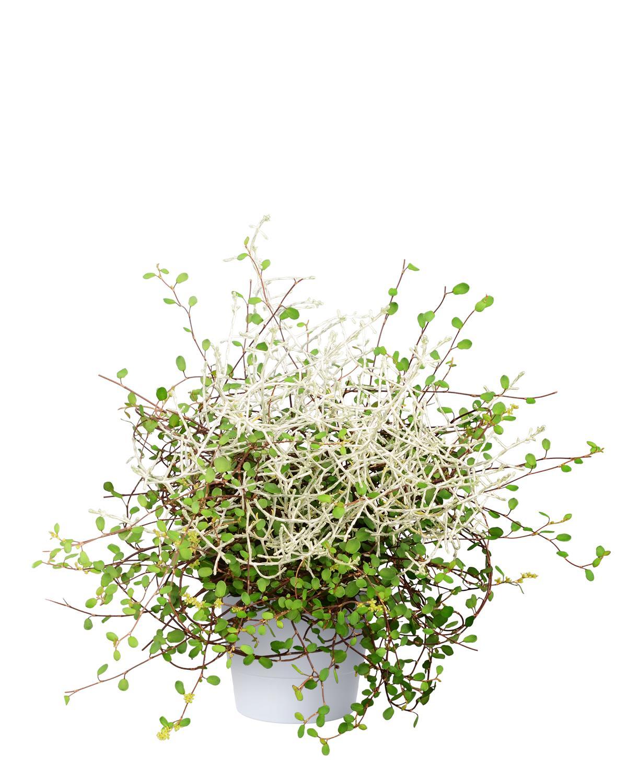 Produktbild på Leucophyta+Muehlenbeckia