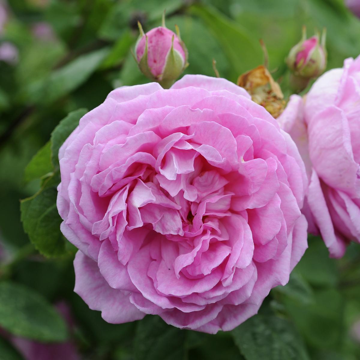 Produktbild på Bourbonros 'Blomsterhult'