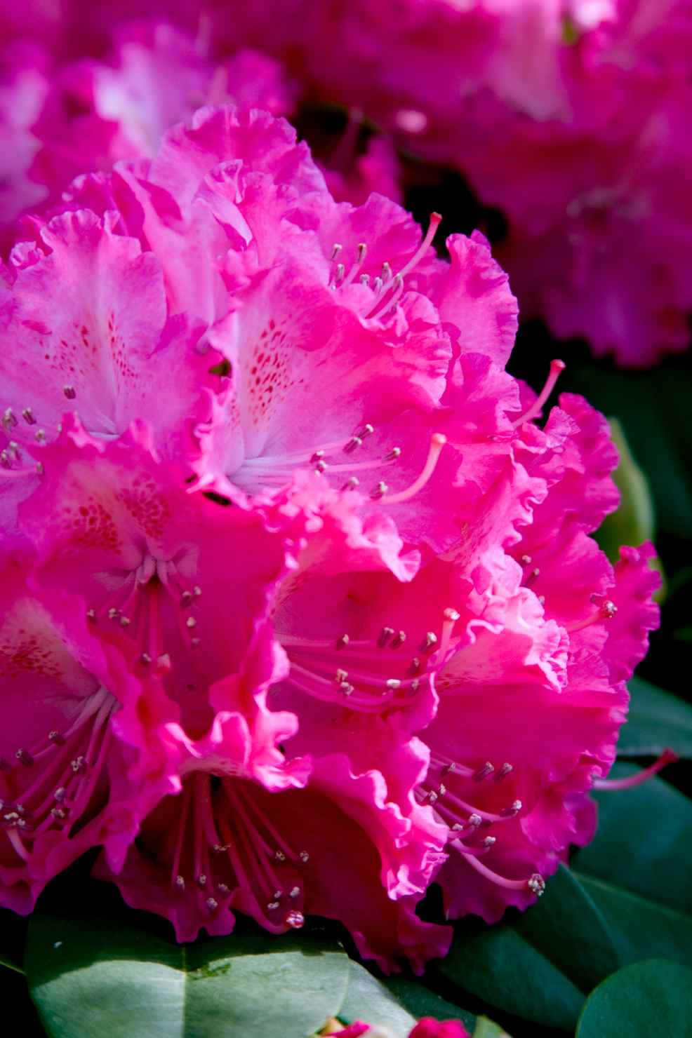 Produktbild på Parkrododendron 'Germania'