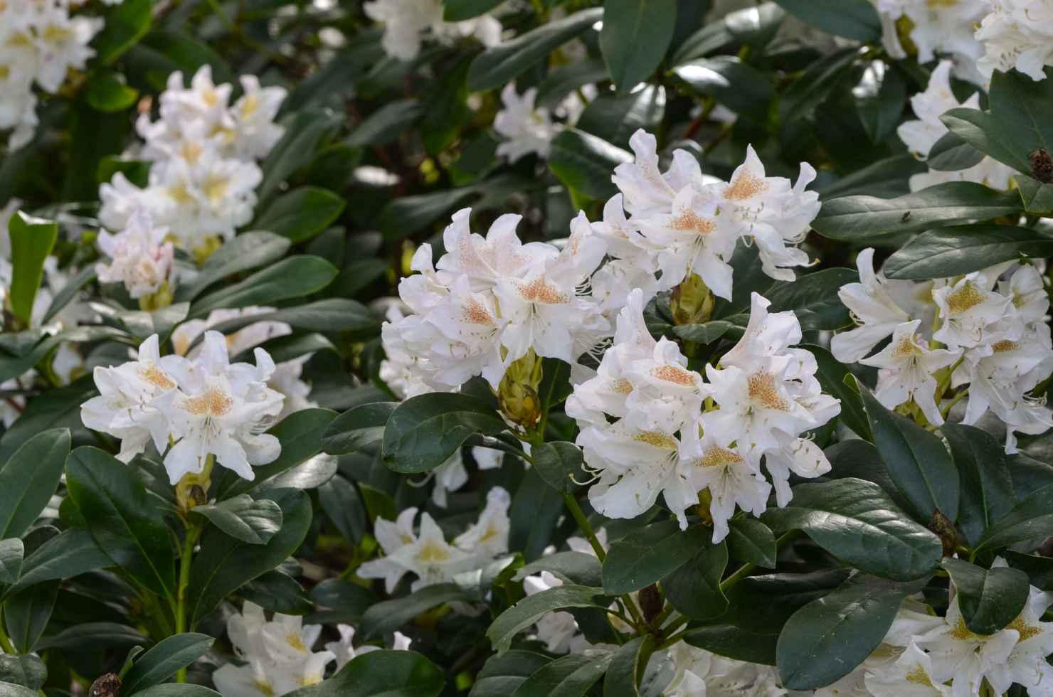 Produktbild på Caucasicum-rododendron 'Cunningham's White'
