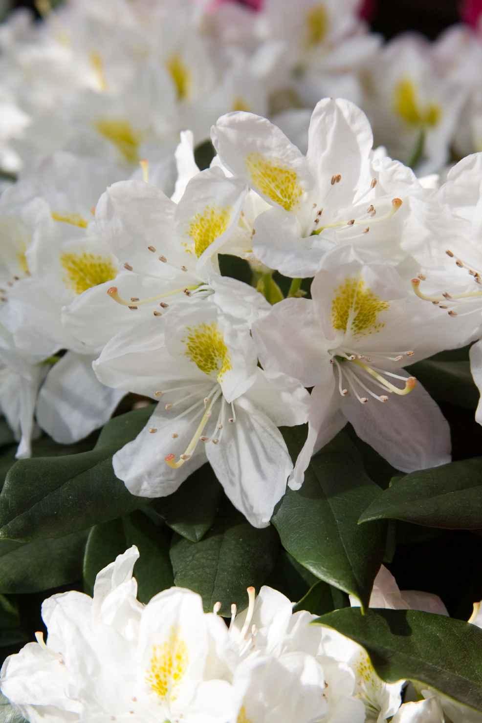 Produktbild på Parkrododendron 'Madame Masson'
