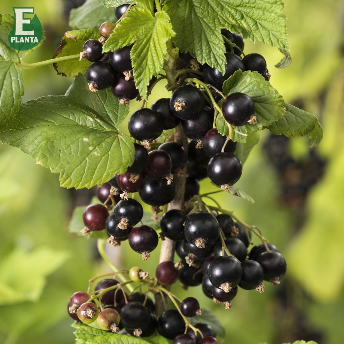 Produktbild på Svarta vinbär 'Narve Viking'