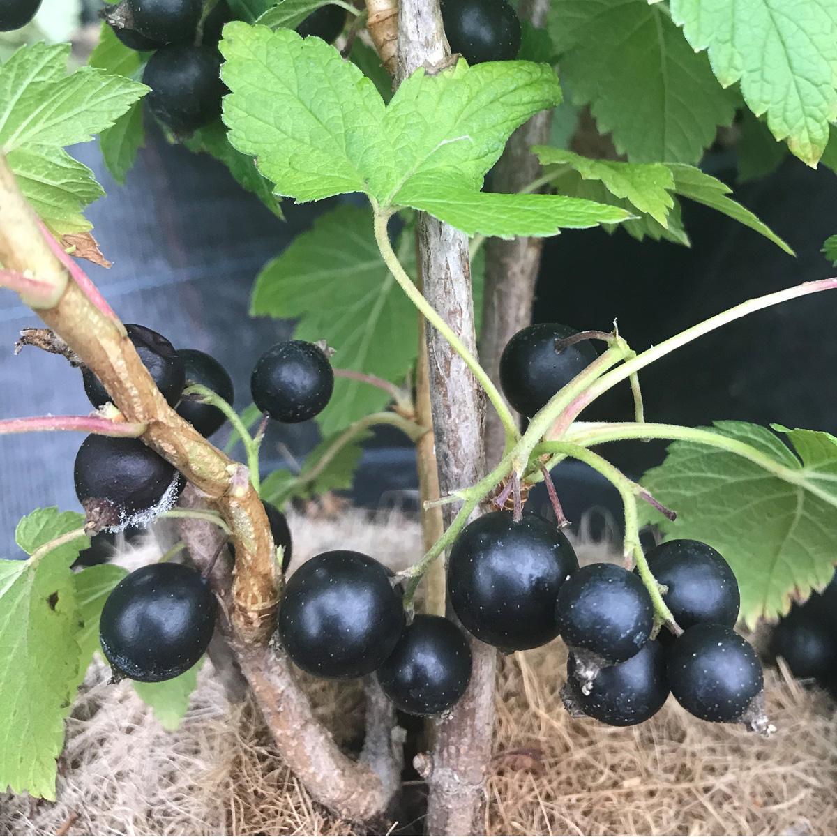Produktbild på Svarta vinbär 'Ben Gairn'