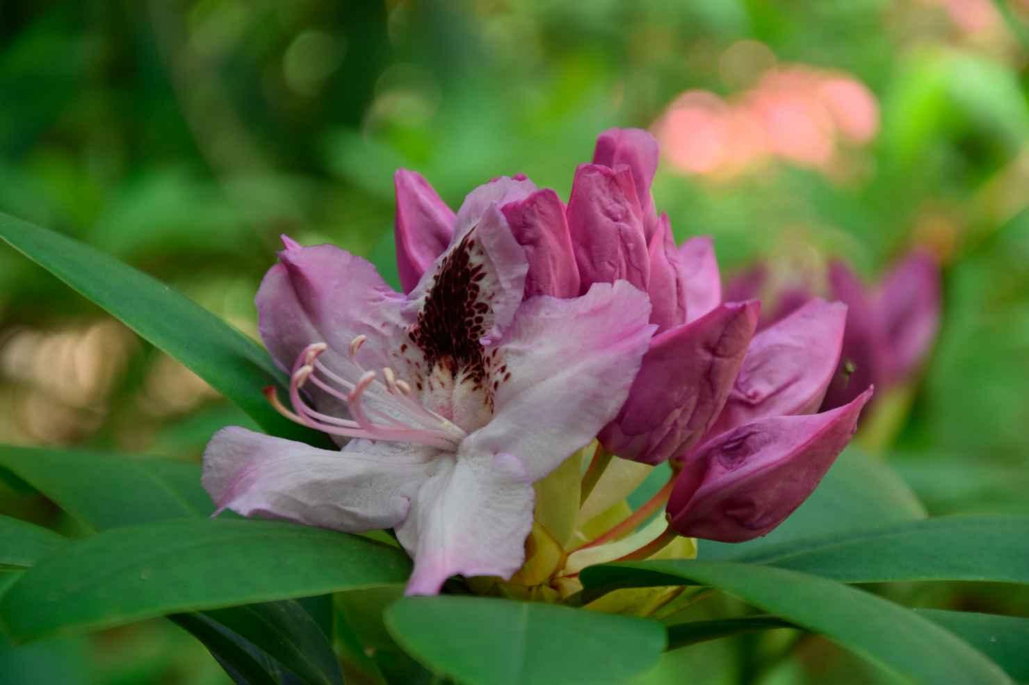 Produktbild på Parkrododendron 'Humboldt'