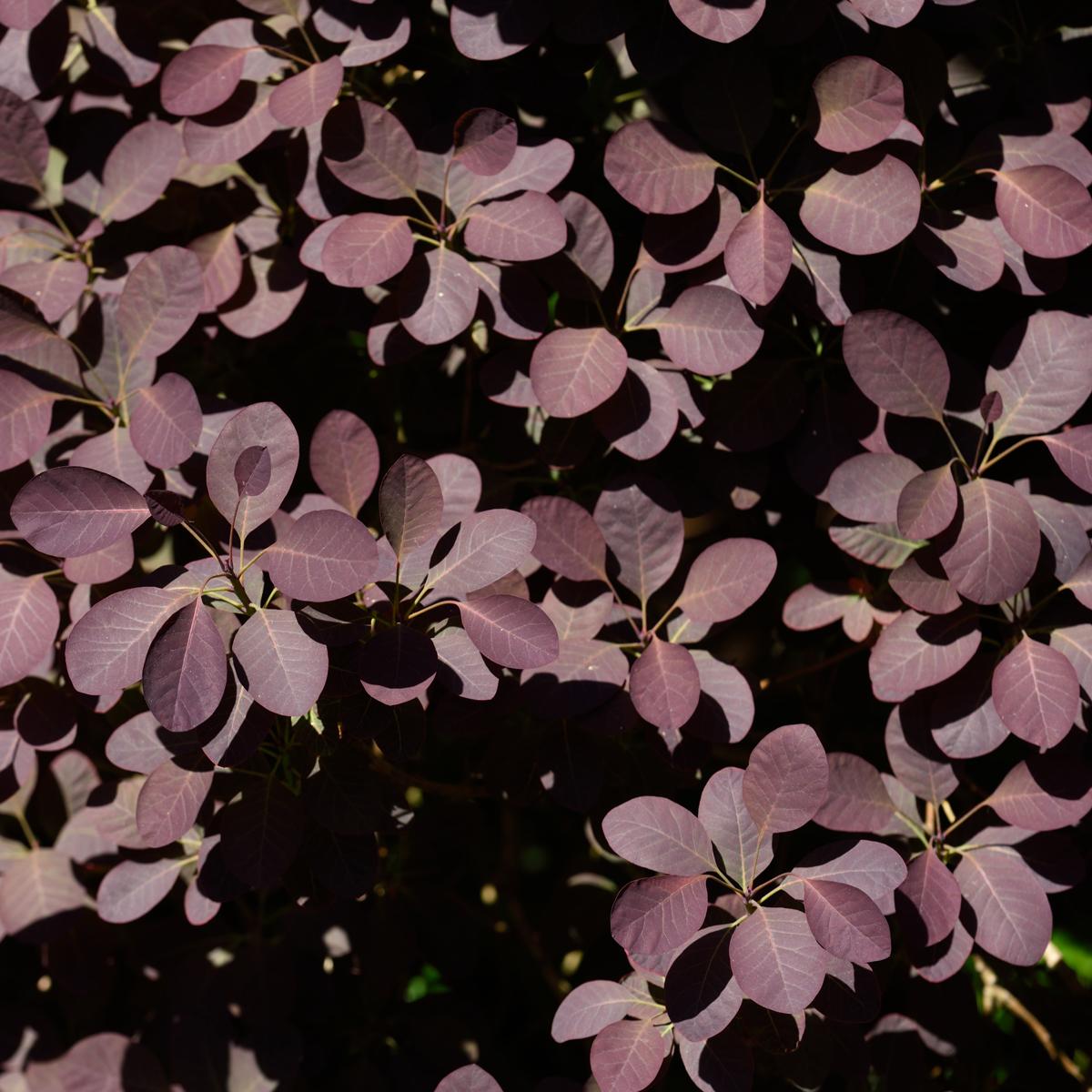 Produktbild 2 på Rödbladig perukbuske