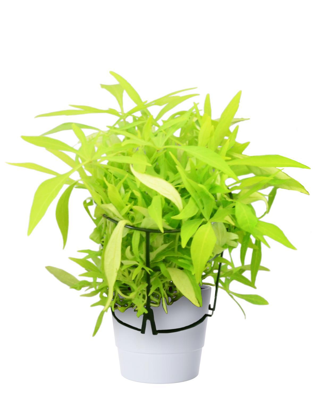 Produktbild på Batat, grön