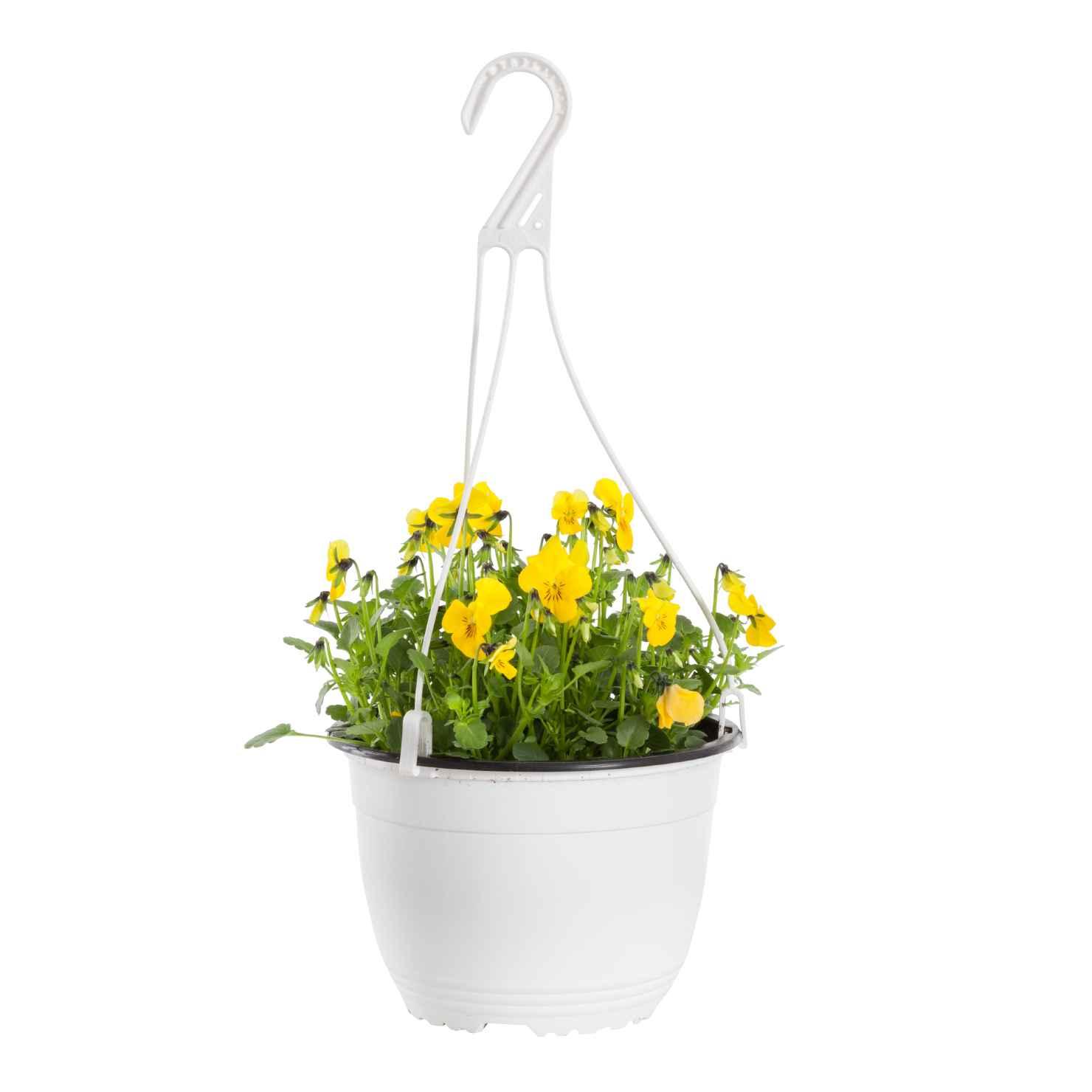 Produktbild på Brokviol, gul