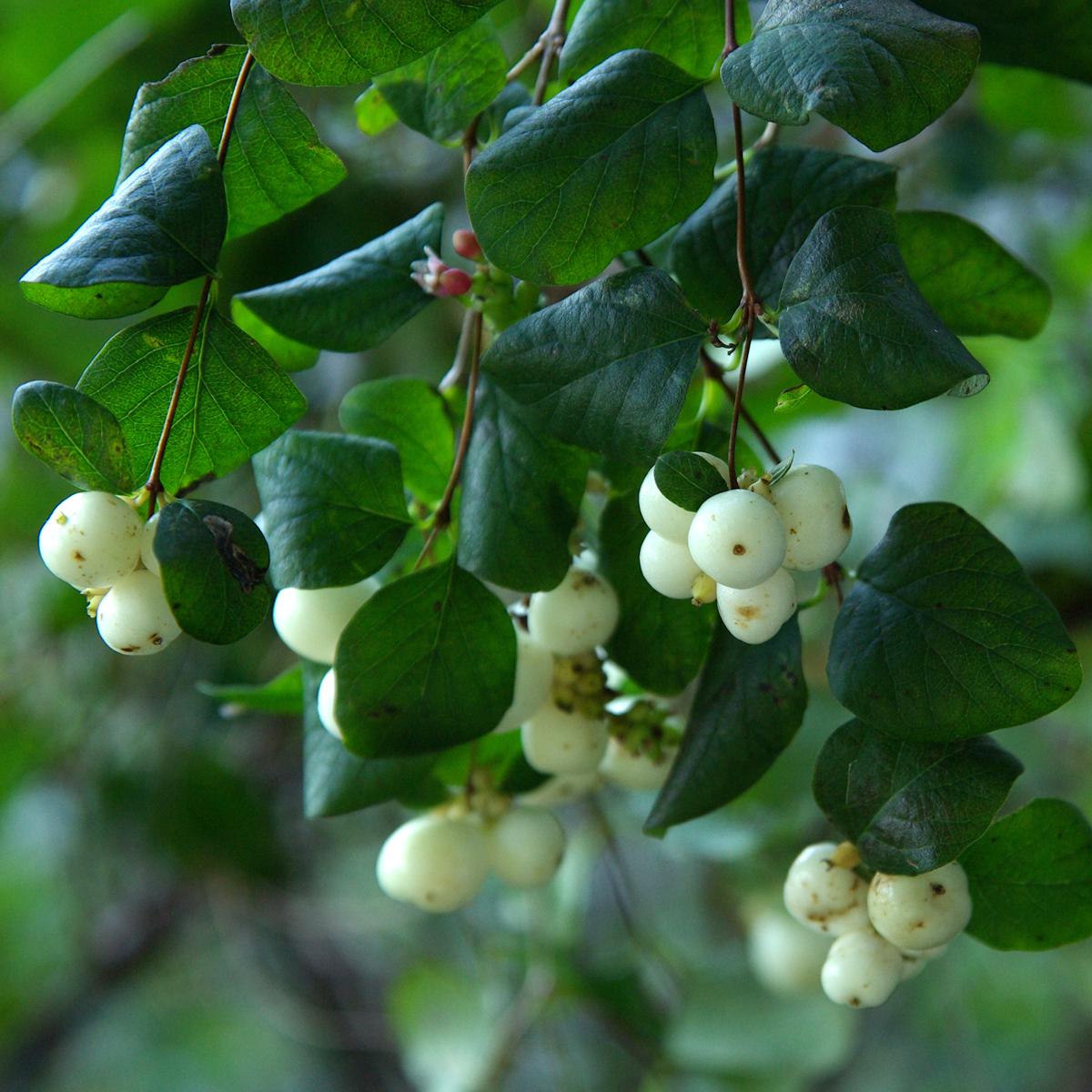 Produktbild på Doorenbossnöbär 'White Hedge'