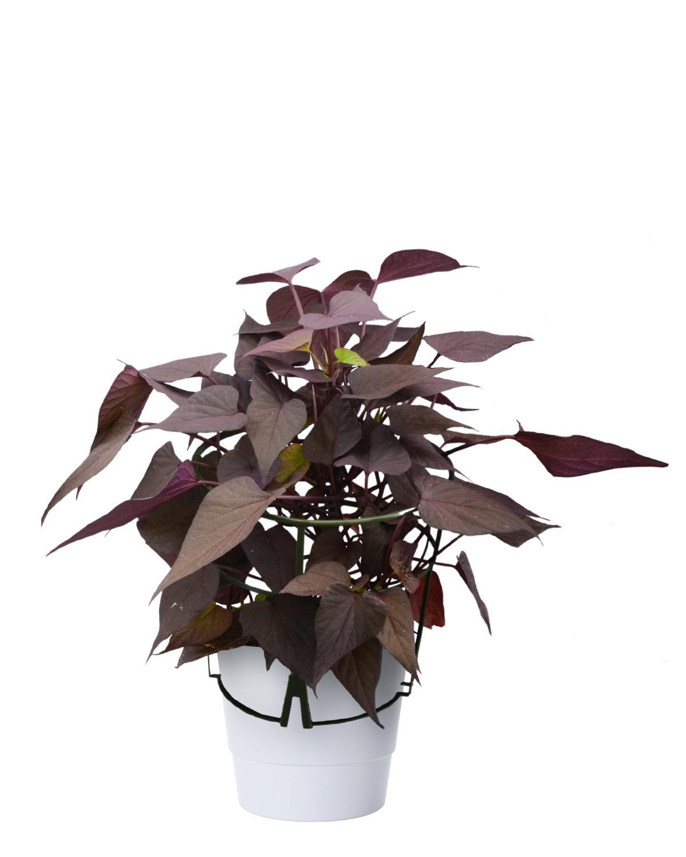 Produktbild på Batat, lila
