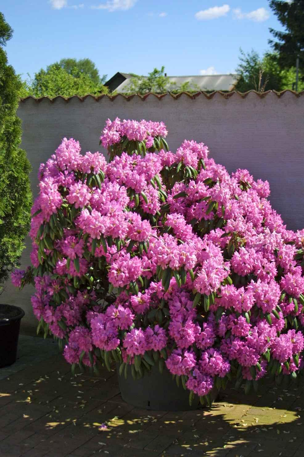 Produktbild på Parkrododendron 'Roseum Elegans'
