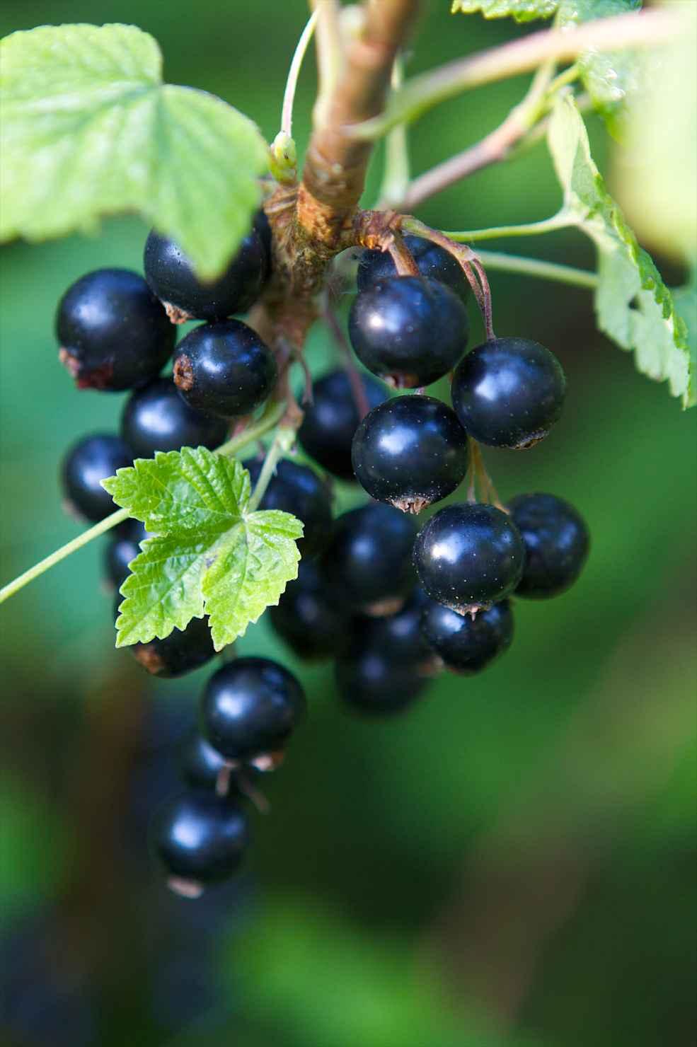 Produktbild på Svarta vinbär PETTER