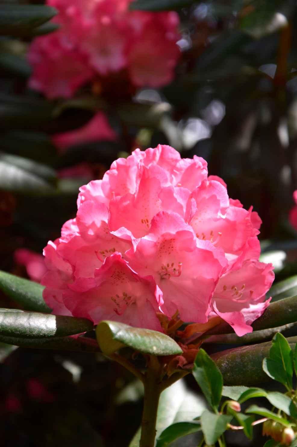 Produktbild på Yakushimanum-rododendron 'Fantastica'