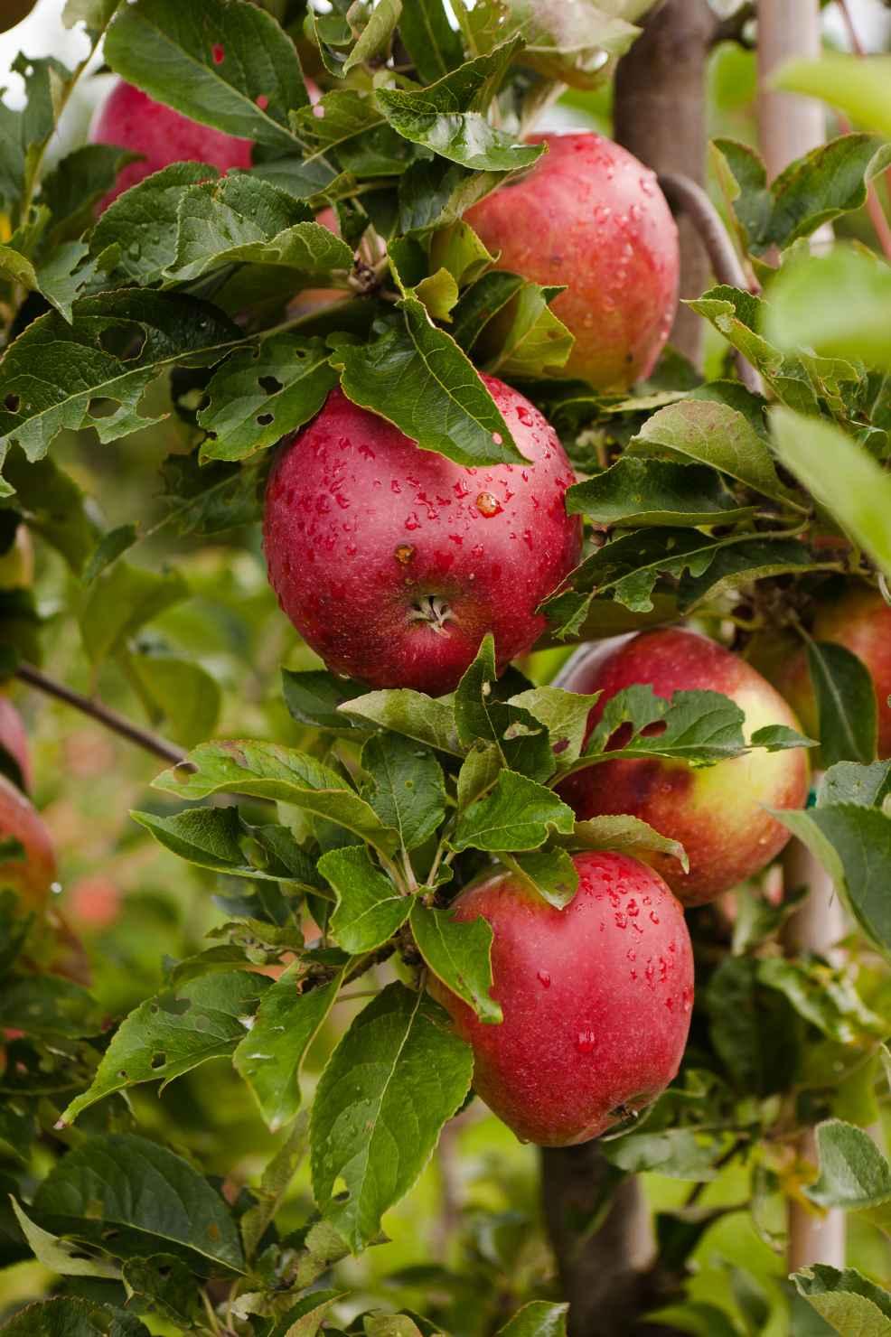 Produktbild på Äppleträd LOVISA ('SLUBGD1160')