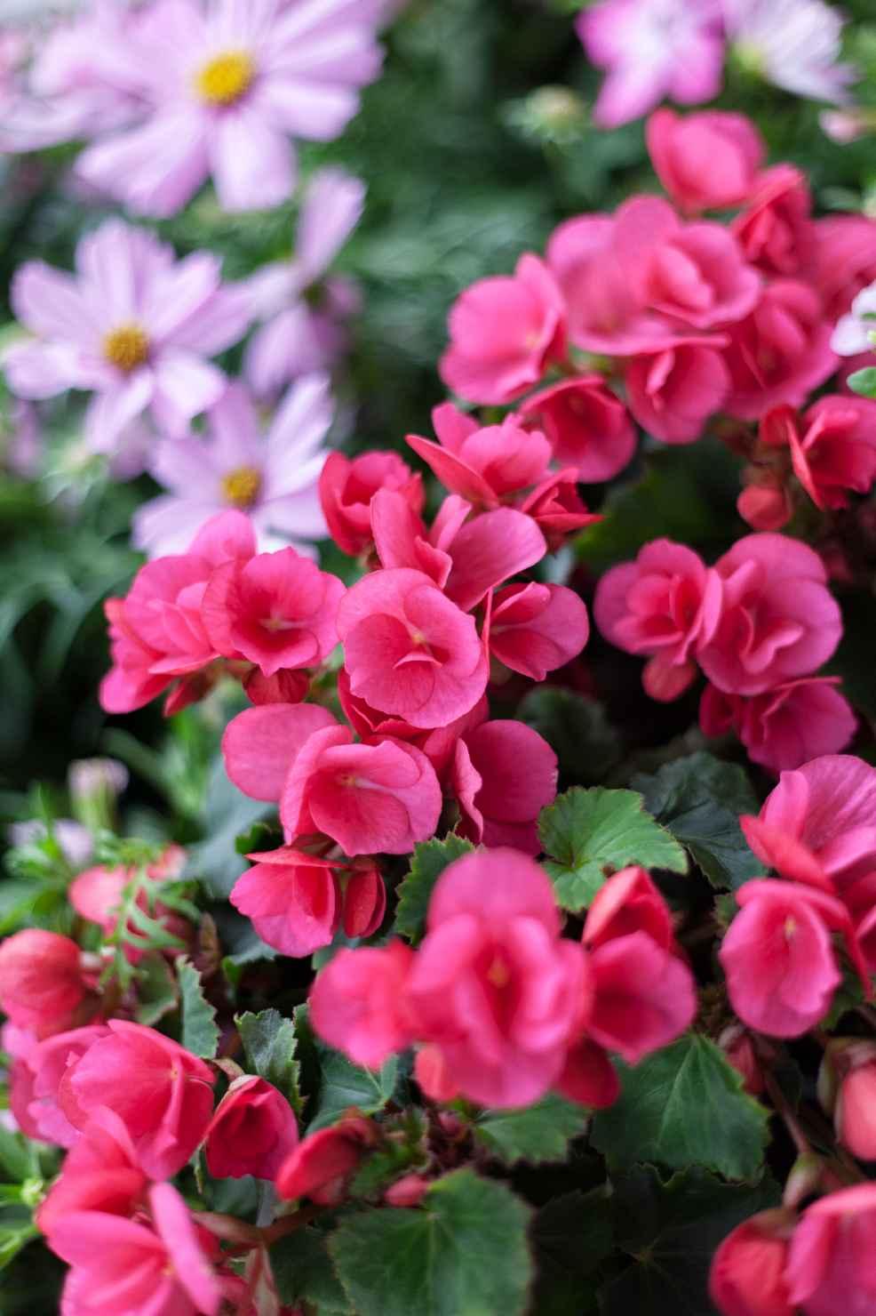 Produktbild på Begonia 'Betulia' rosa