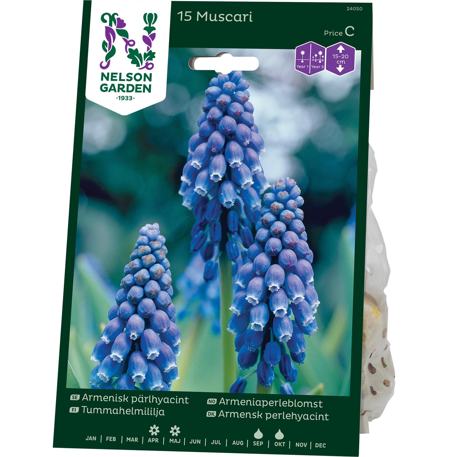Produktbild på Pärlhyacint Armenisk, blå