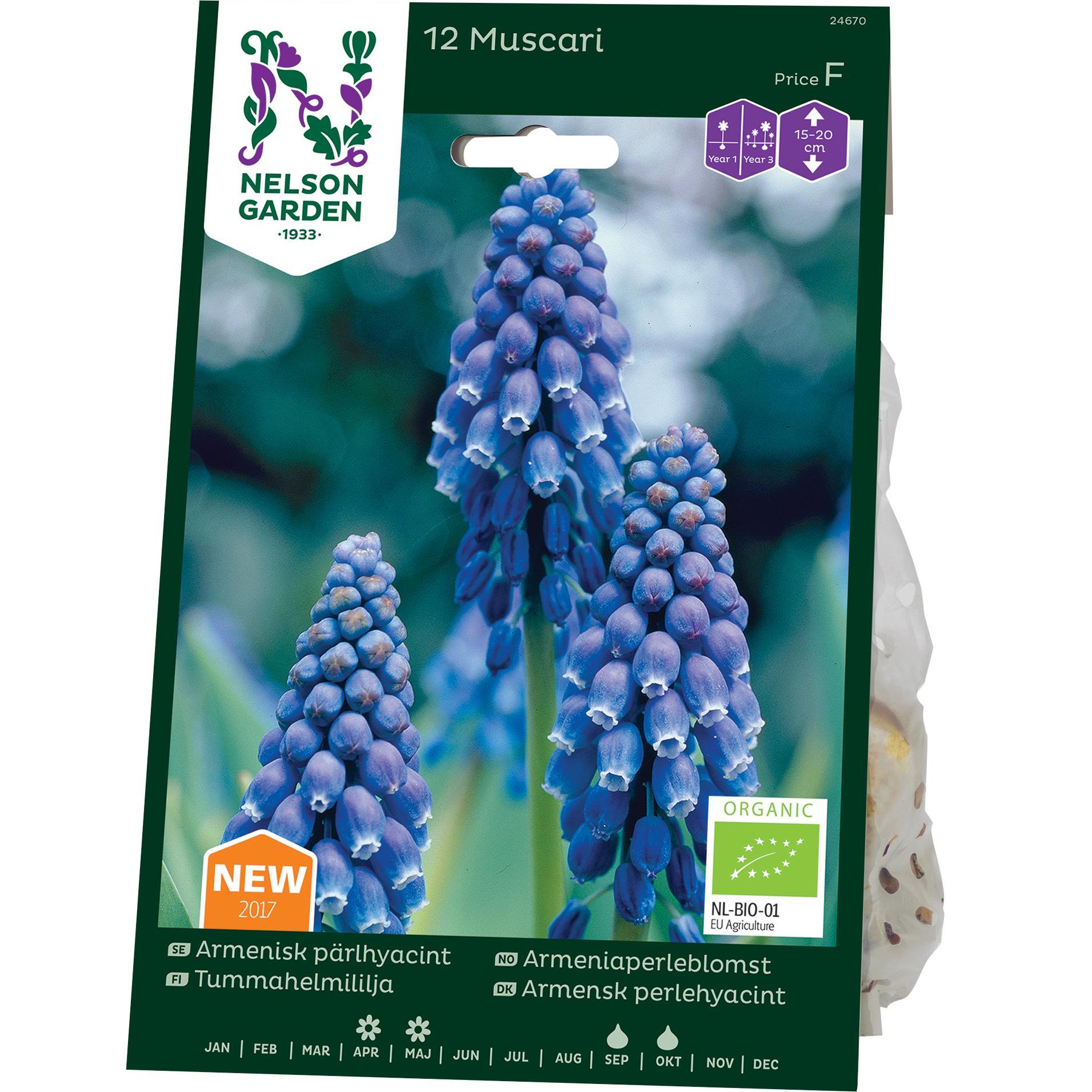 Produktbild på Armenisk pärlhyacint