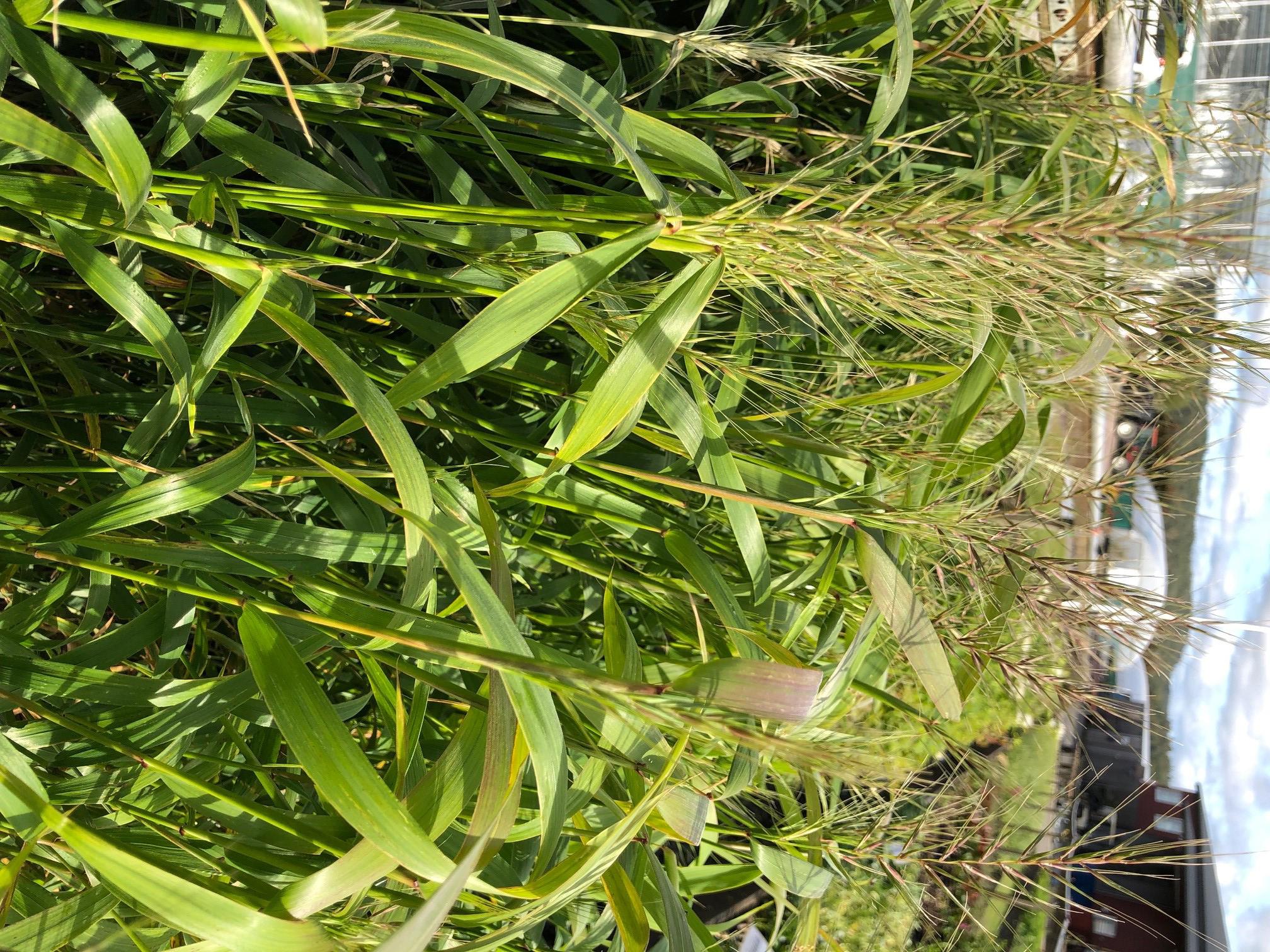 Produktbild på Flaskbortsgräs