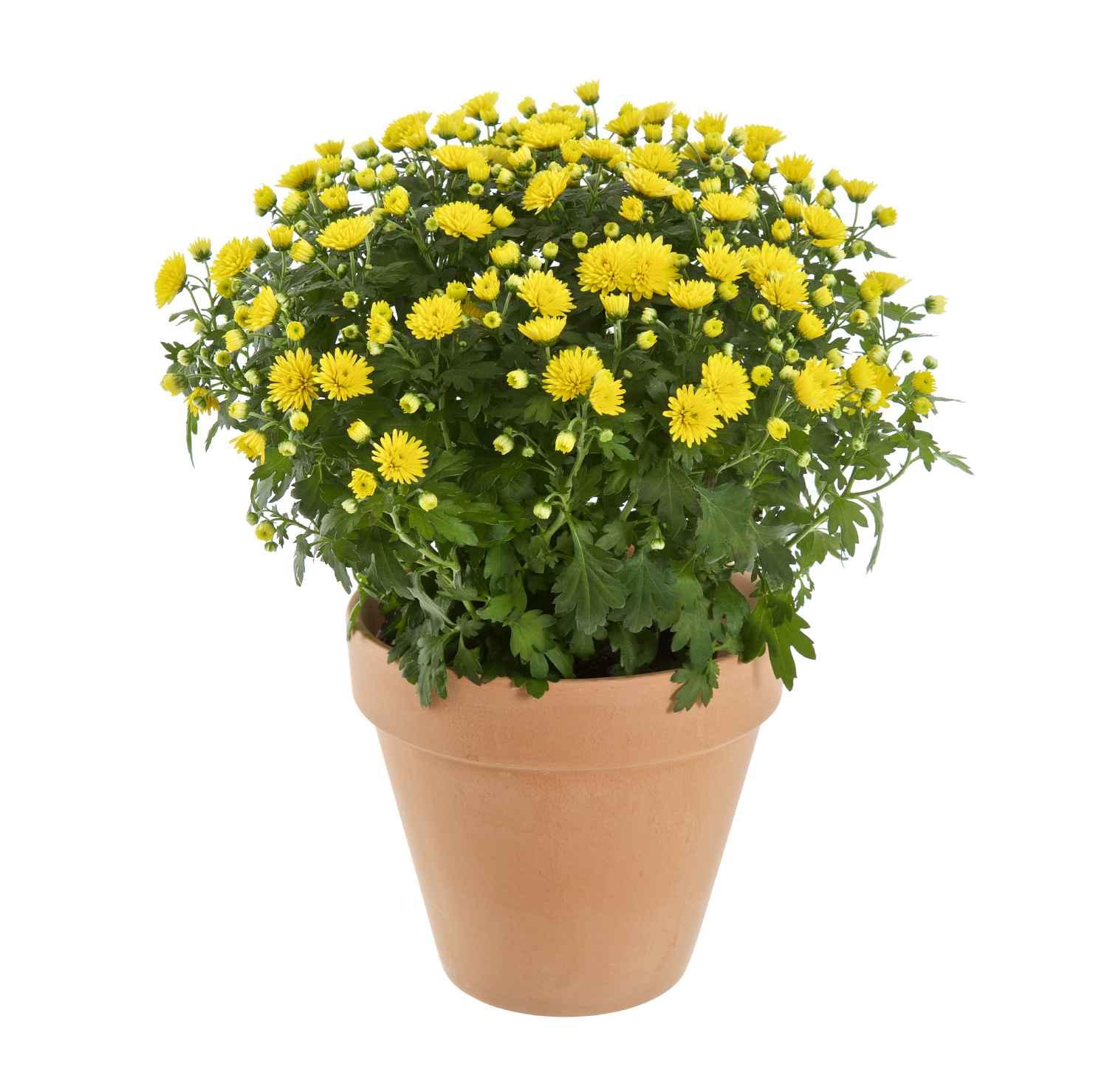 Produktbild på Bollkrysantemum, gul