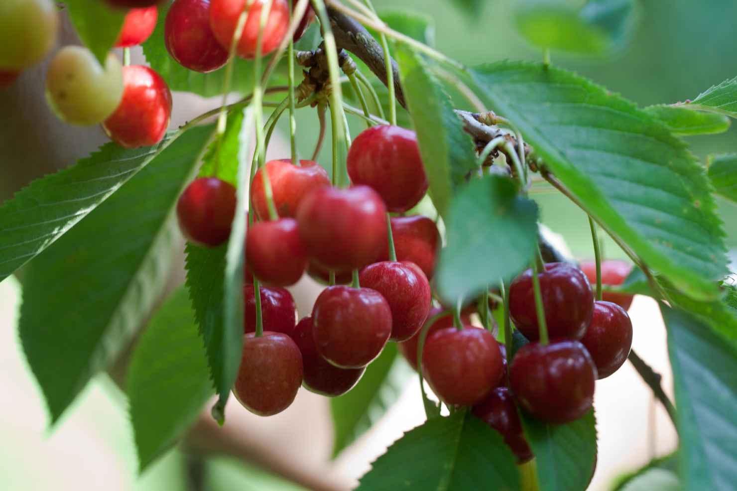 Produktbild på Sötkörsbär