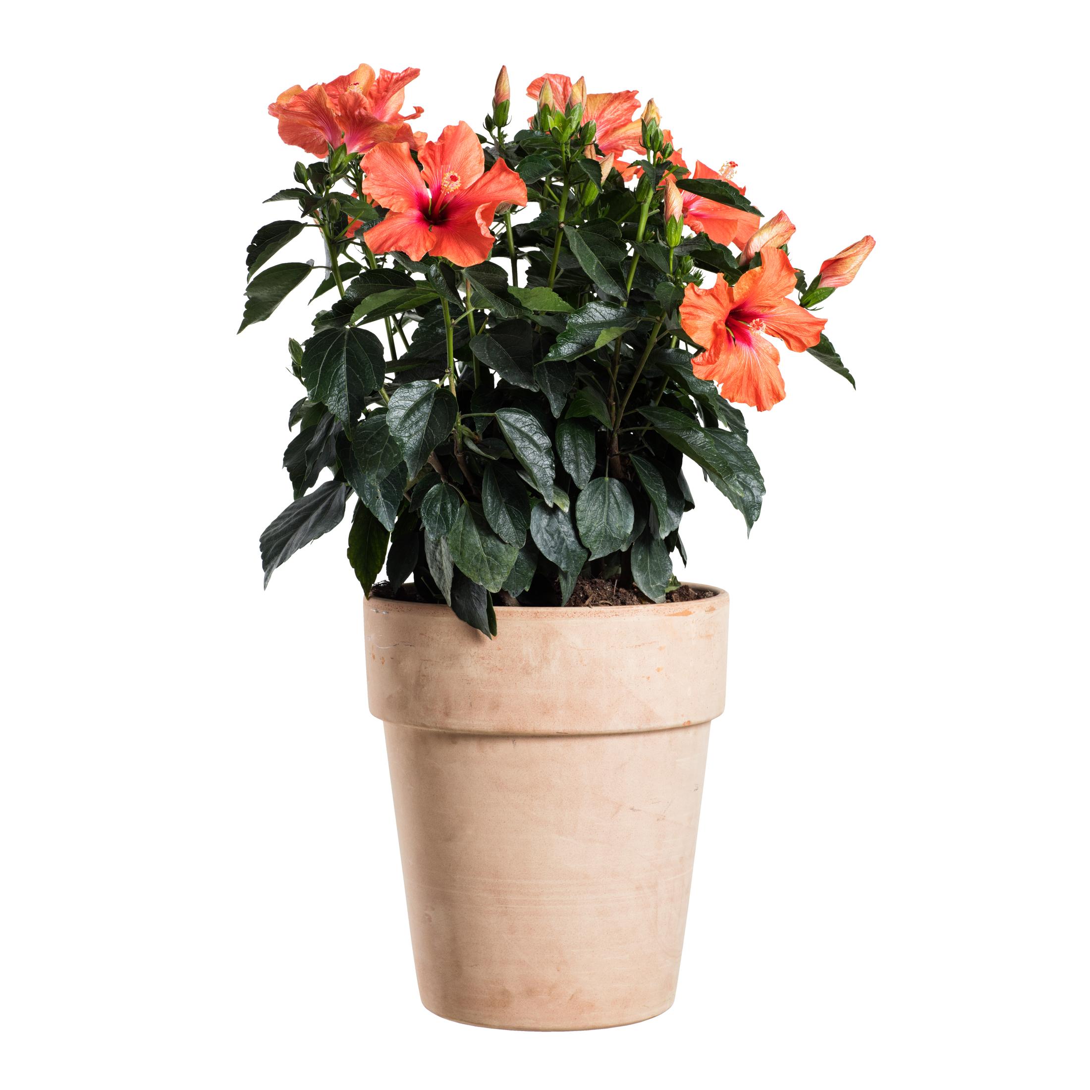 Produktbild på Hibiskus, orange