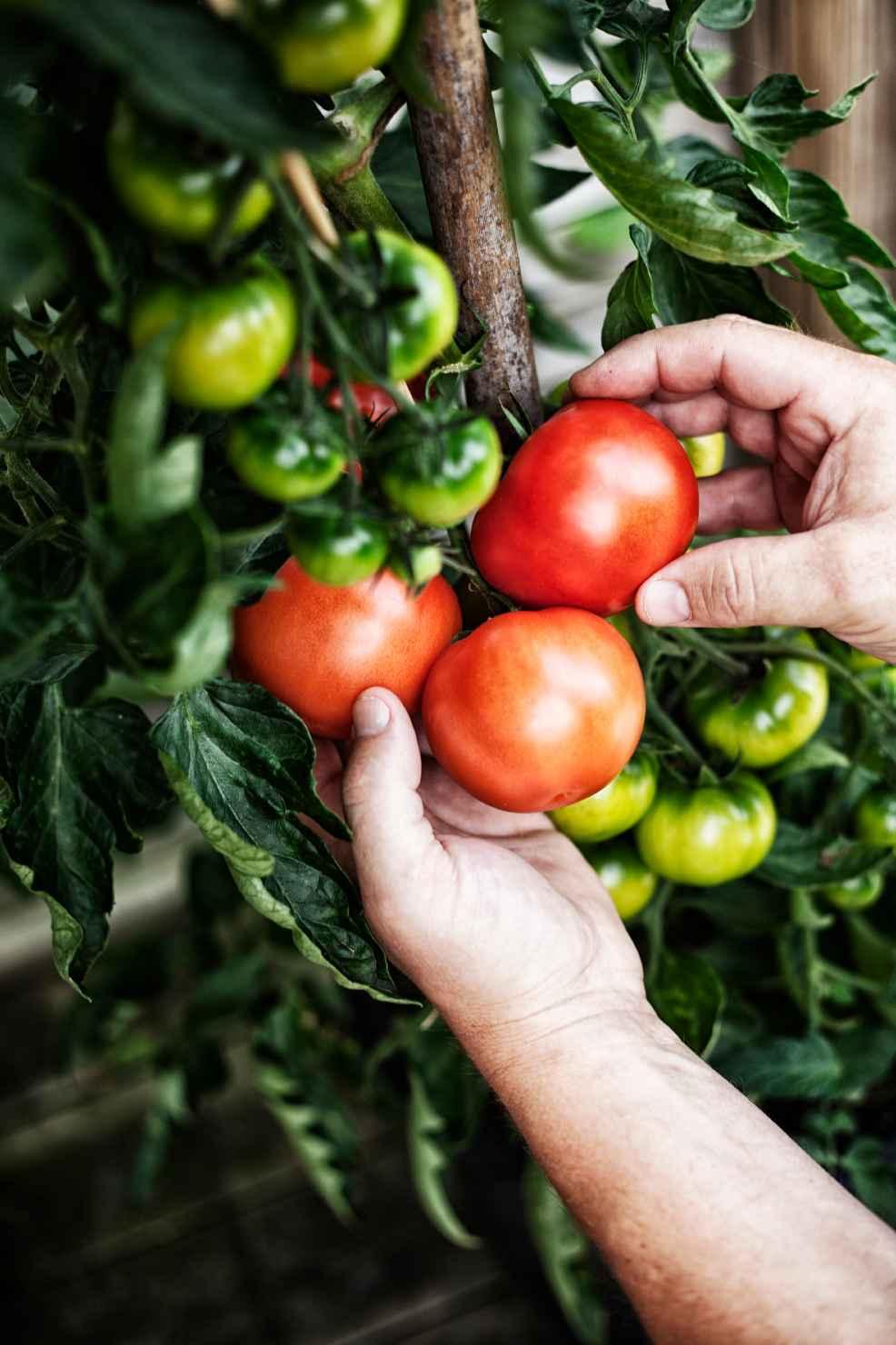 Produktbild 2 på Tomat
