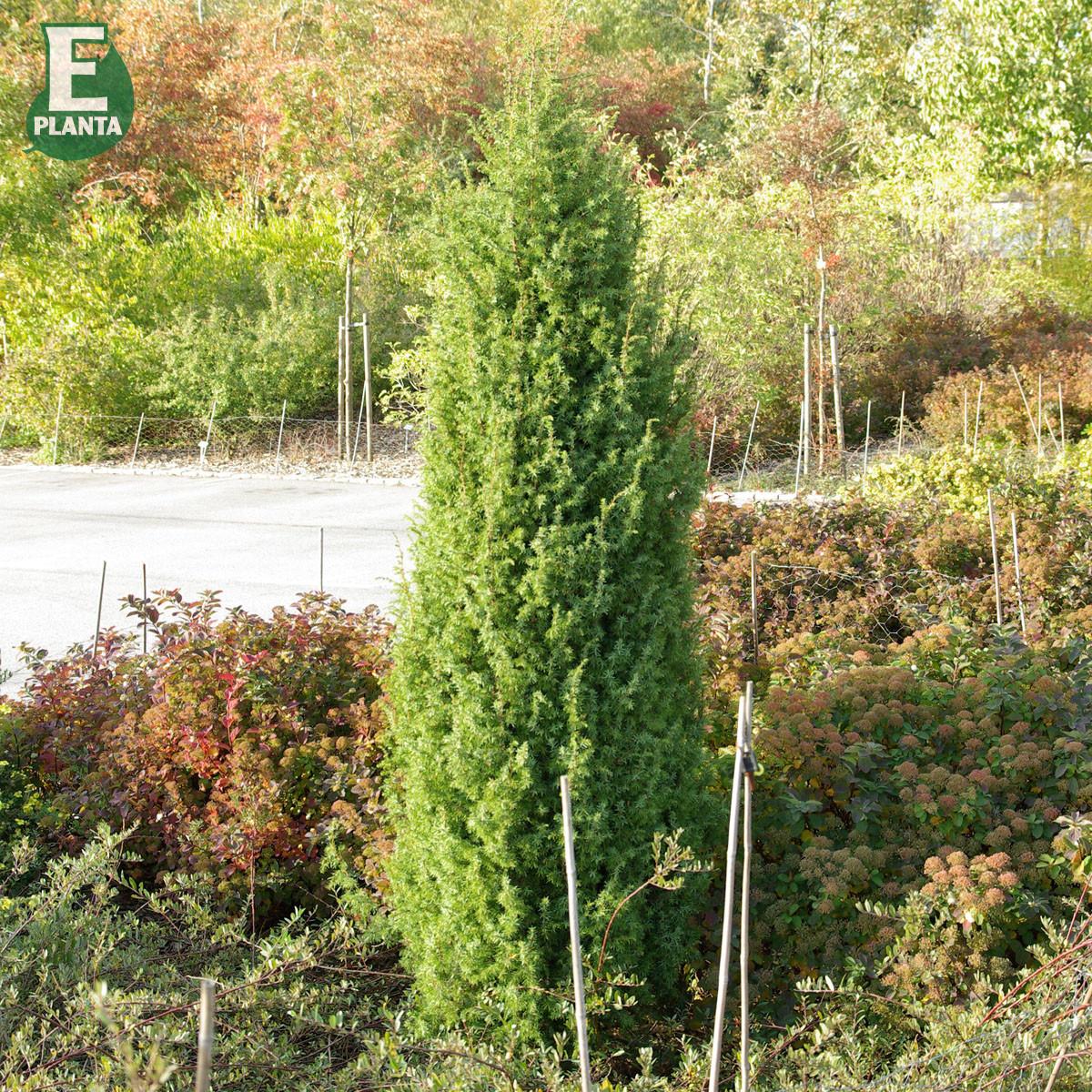 Produktbild på En 'Vemboö' E-planta