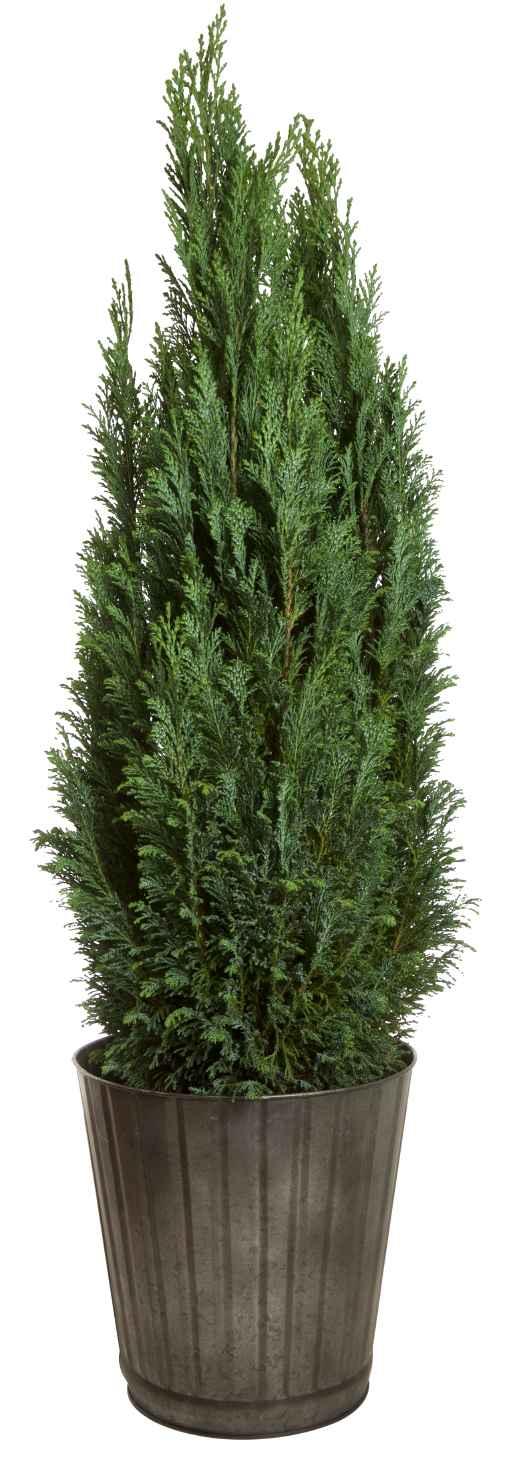 Produktbild på Ädelcypress 'Ellwoodii'