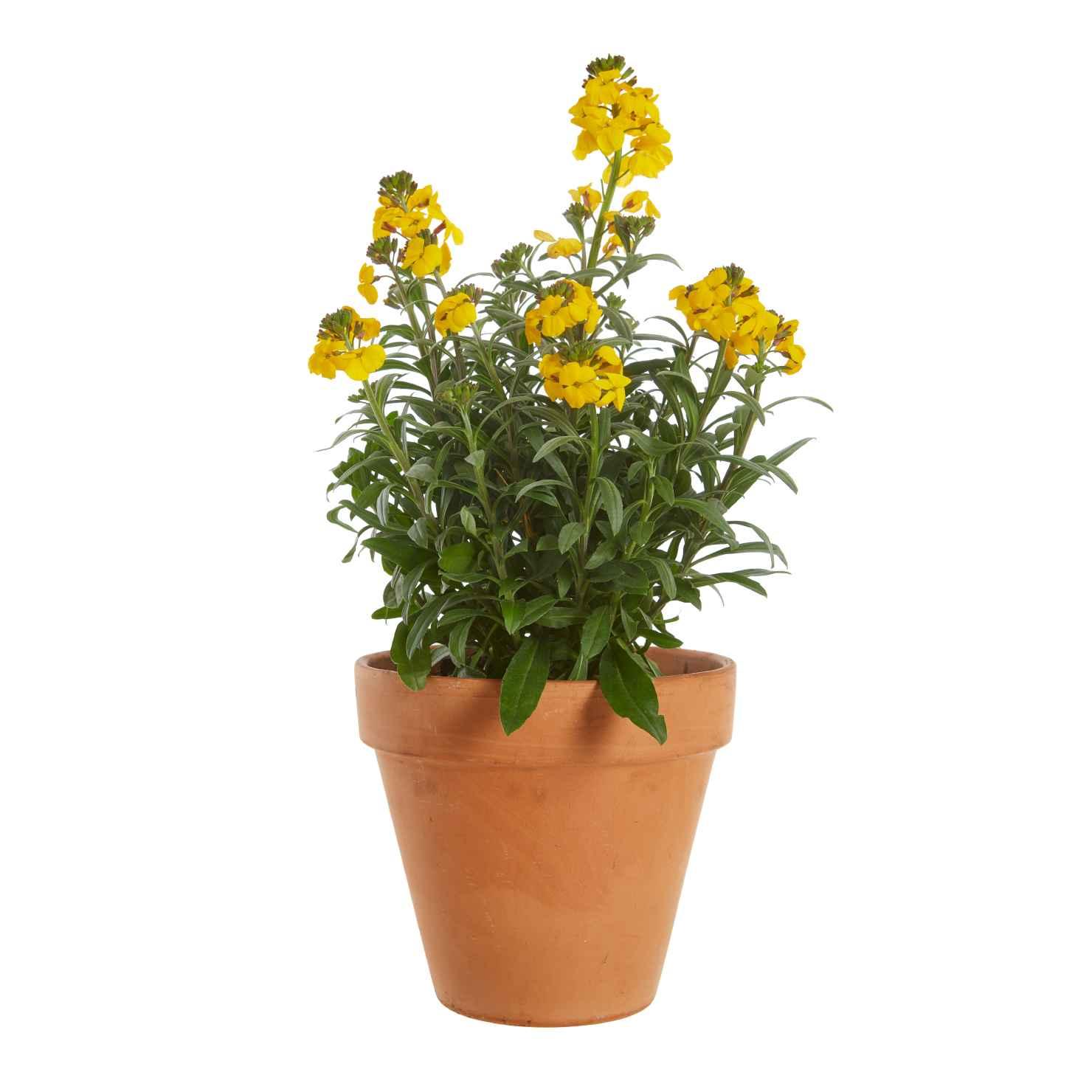 Produktbild på Gyllenlack, gul