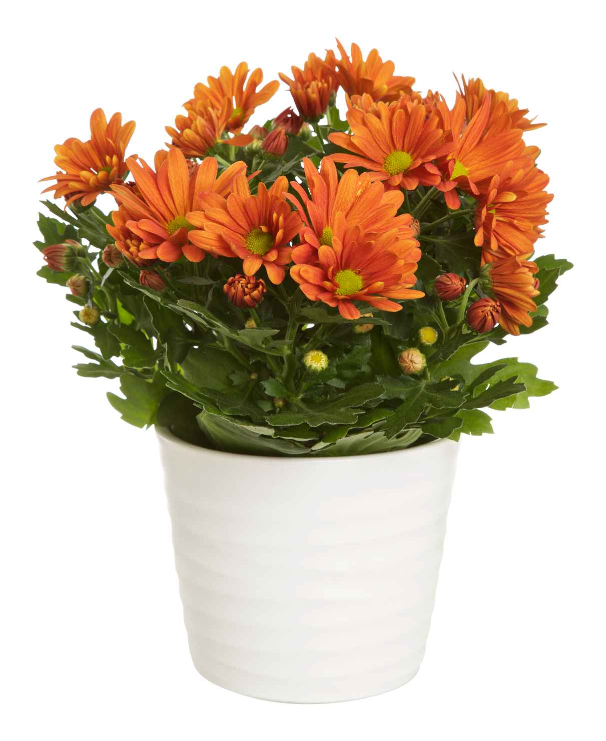 Produktbild på Krysantemum 3-pl. orange