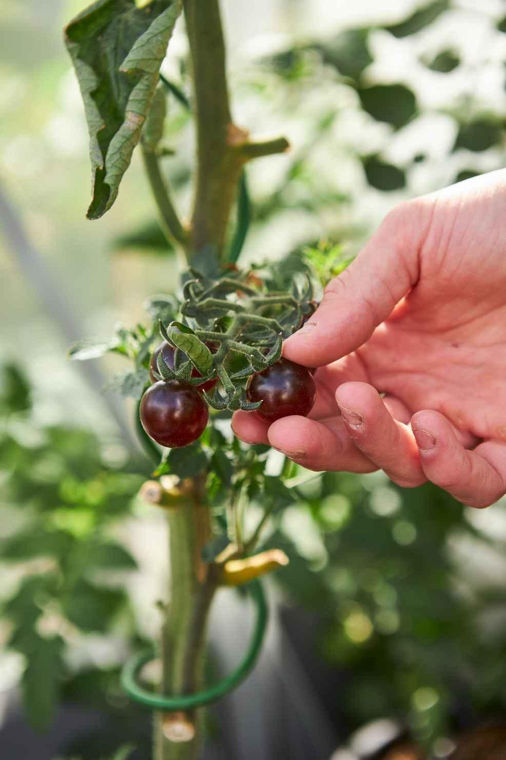 Produktbild på Tomat 'Black Cherry'